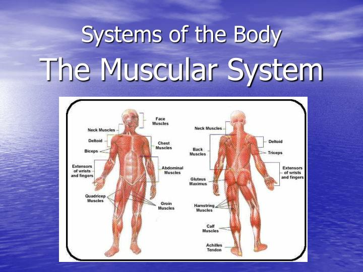 systems of the body n.