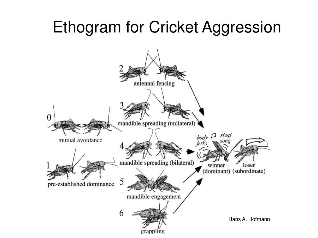 ethogram for cricket aggression l.